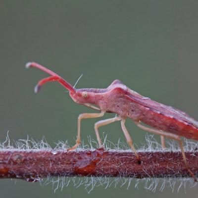 Punaise (Haploprocta sulciconis)