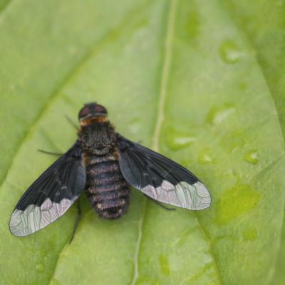 Anthracine noire (Hemipenthes morio)