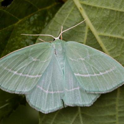 L'Hémithée printanière (Hemistola chrysoprasaria)
