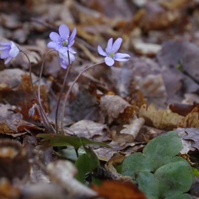 Hépatique noble (Hepatica  nobilis)
