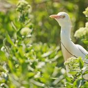 Héron gardeboeuf (Bubulcus ibis)