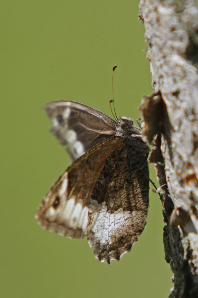Le Sylvandre (Hipparchia fagi )