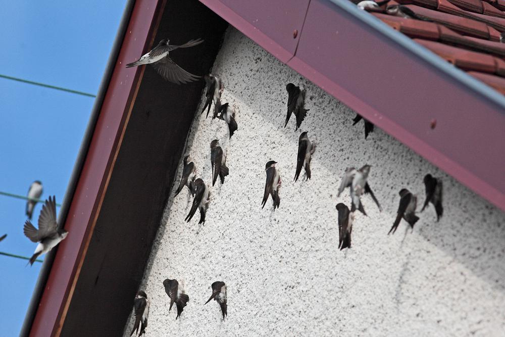Hirondelles de fenêtre  (Delichon urbica)