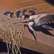 Hirondelle rustique (Hirundo rustica)