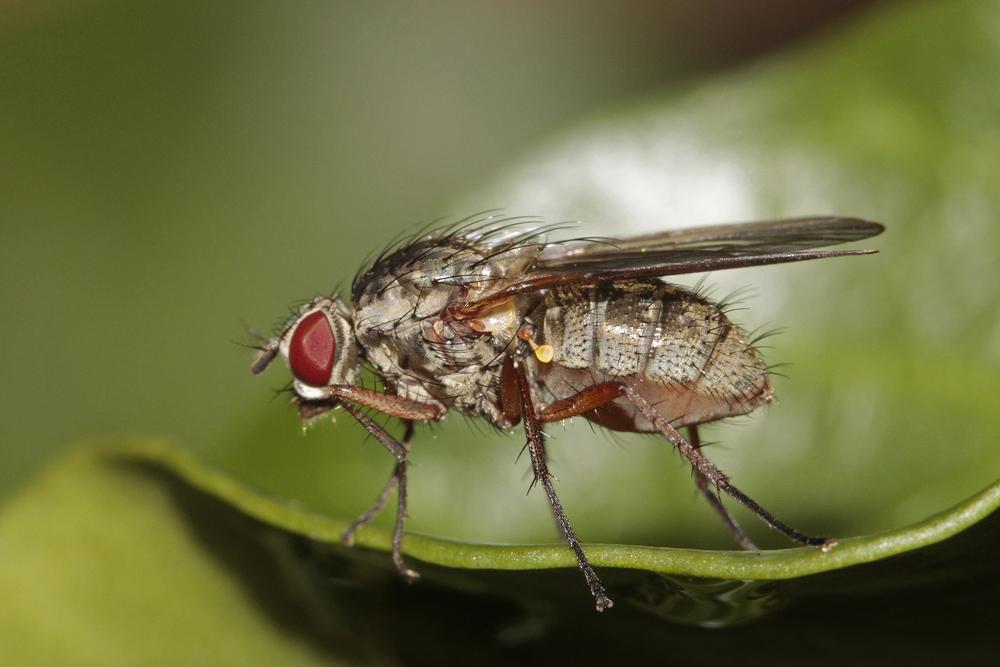 Hylemya nigrimana