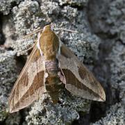 Sphinx de l'euphorbe (Hyles euphorbiae)