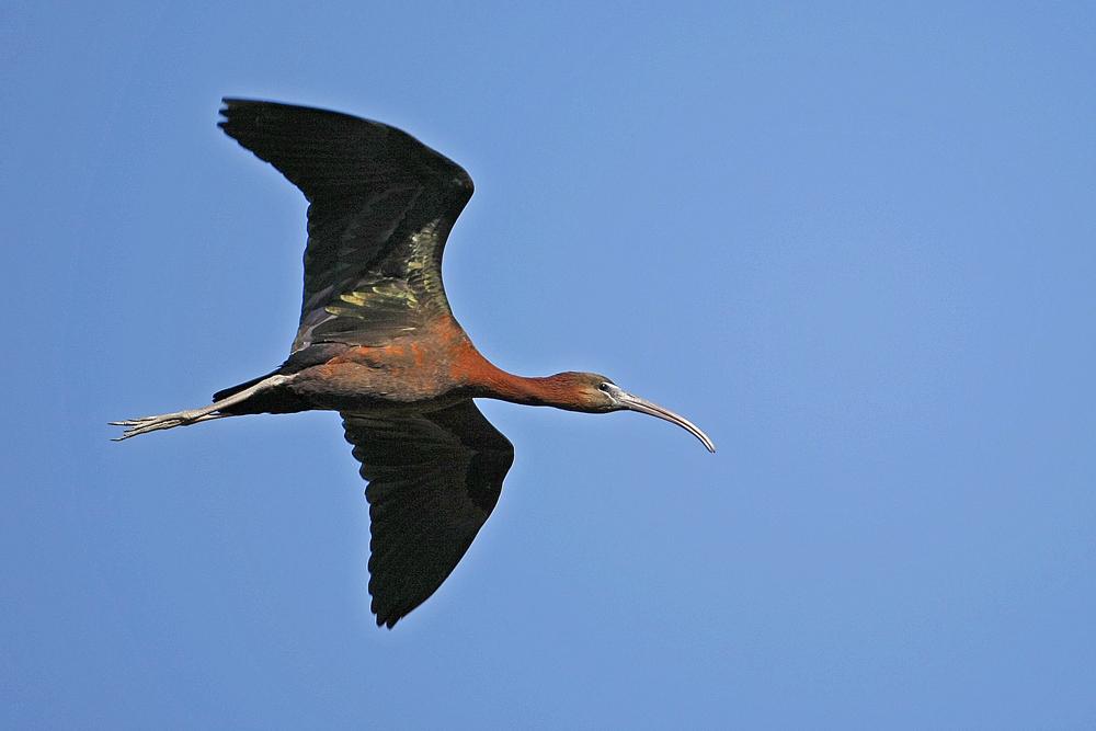 Ibis falcinelle (Plegadis falcinellus)