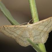 L' Acidalie détournée (Idaea aversata)