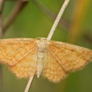 L' Acidalie sinuée (Idaea serpentata)