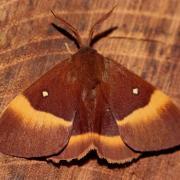 Le Bombyx du chêne (Lasiocampa quercus) mâle