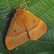 Le Bombyx du chêne (Lasiocampa quercus)