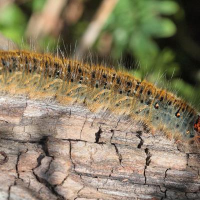 Bombyx du trèfle (Lasiocampa trifolii)