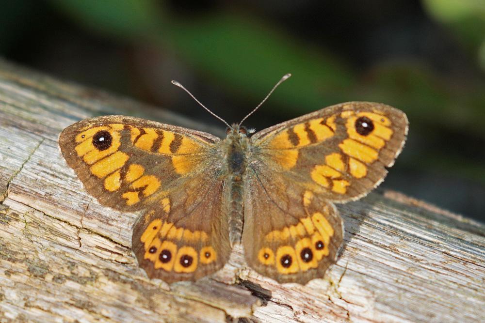 La Mégère le Satyre (Lasiommata megera ) mâle