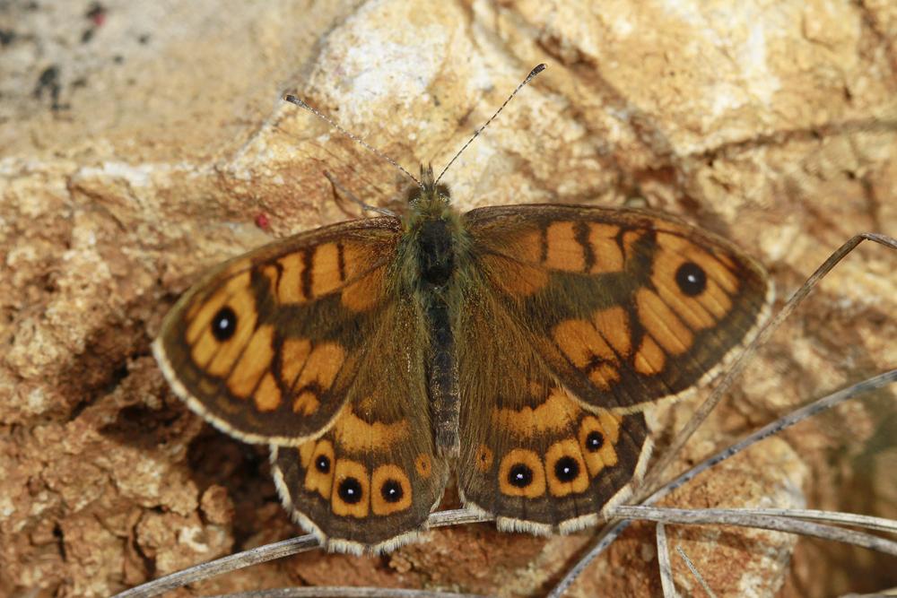 La Mégère , le Satyre (Lasiommata megera) mâle
