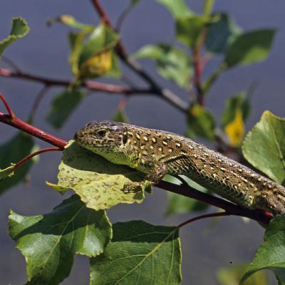 Lézard agile ou lézard des souches (Lacerta agilis) femelle