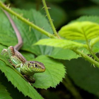 Lézard agile ou lézard des souches (Lacerta agilis) mâle