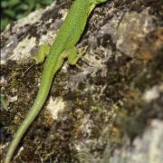 Lézard vert occidental ou Lézard à 2 raies.(Lacerta bilineata)