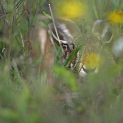 Lièvre  d'Europe (Lepus europaeus)
