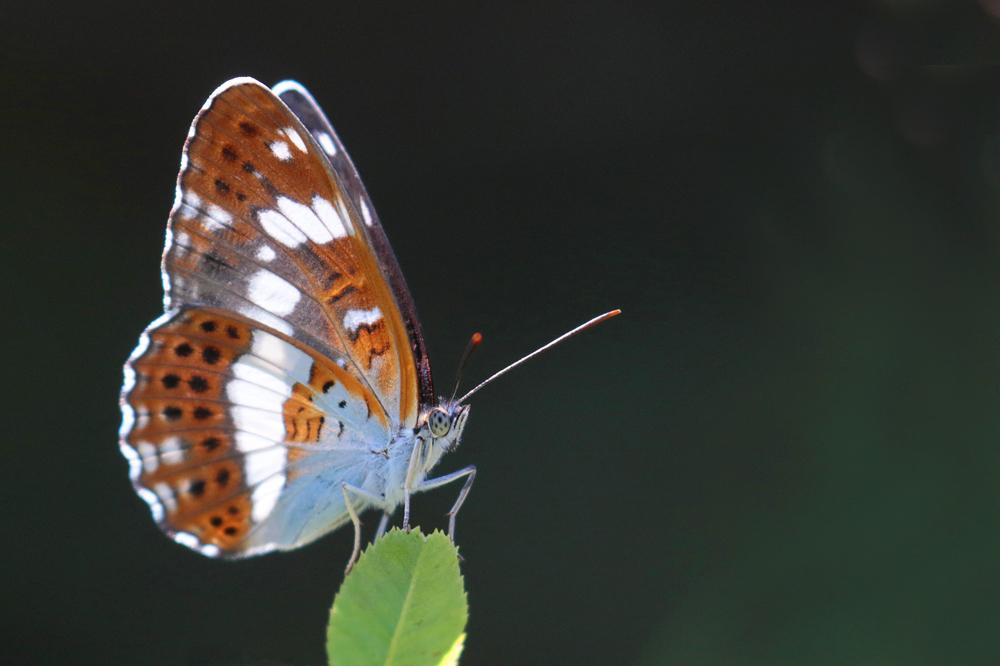 Le Petit sylvain (Limenitis camilla )