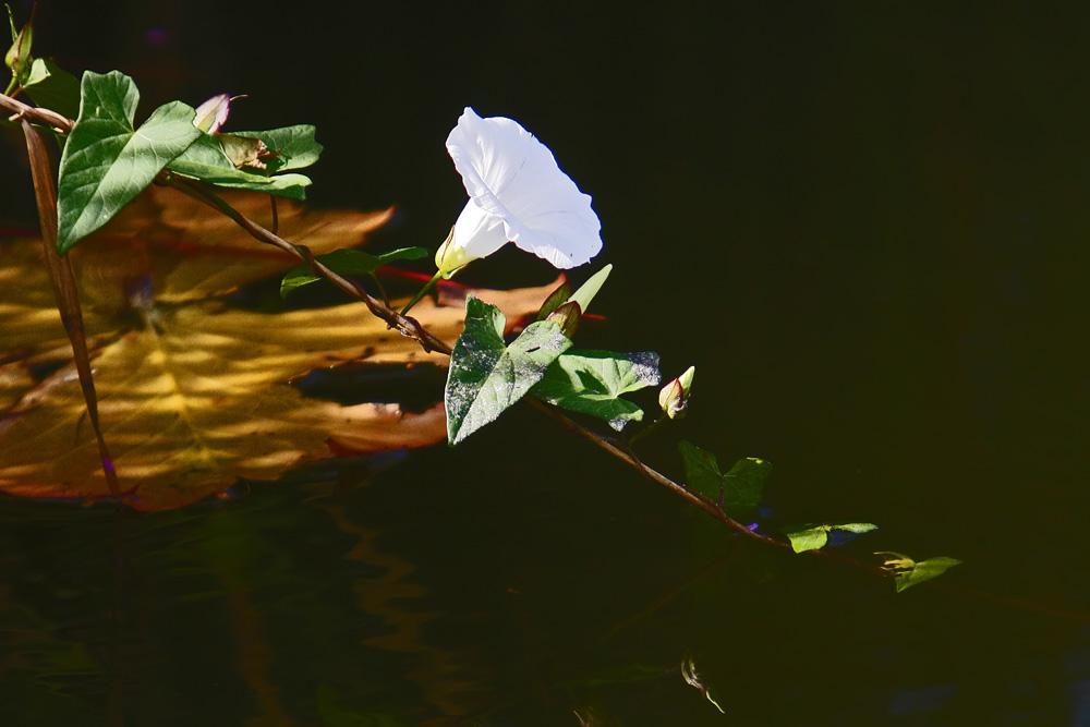 Liseron des haies (Calystegia sepium)