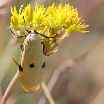 La Lithosie quadrille (Lithosia quadra) femelle