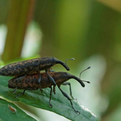 Charançon (Lixus fasciculatus)  couple
