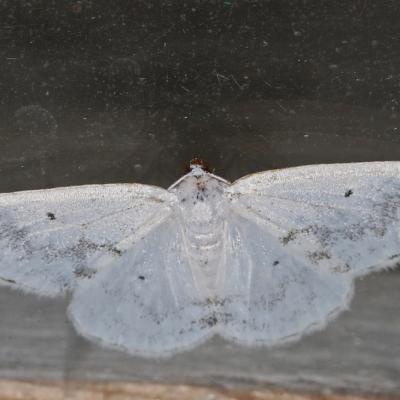 La Phalène satinée (Lomographa temerata)