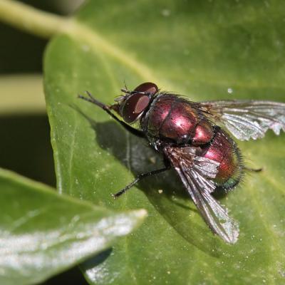 Lucillia sylvarum
