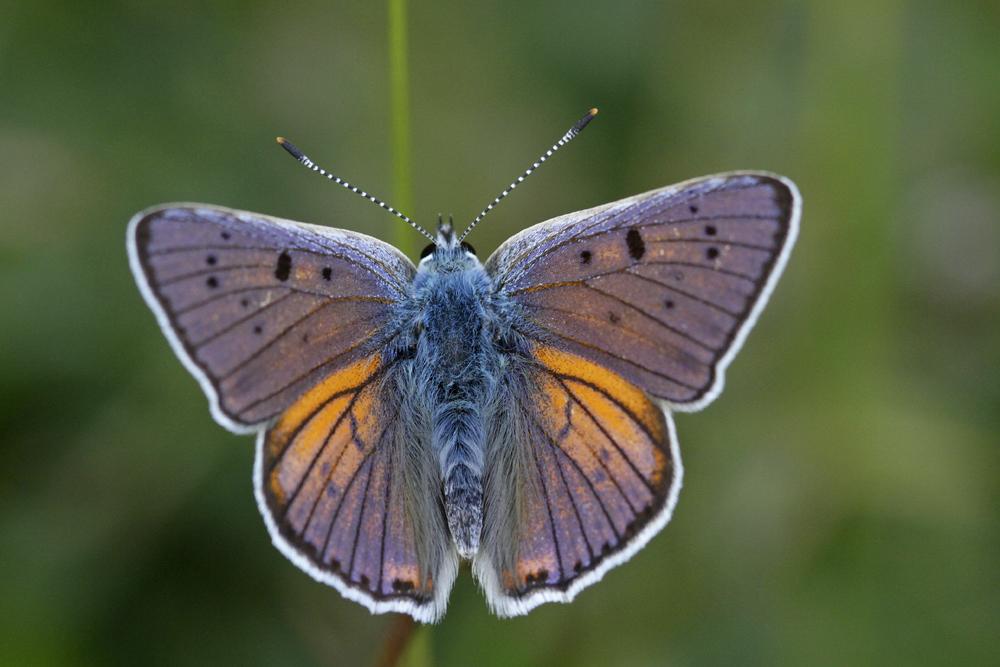 Le Cuivré mauvin (Lycaena alciphron)