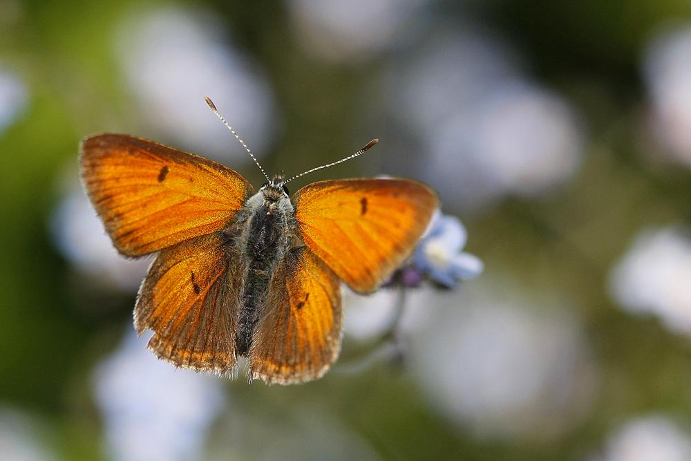 Le Cuivré écarlate (Lycaena hyppothoe)