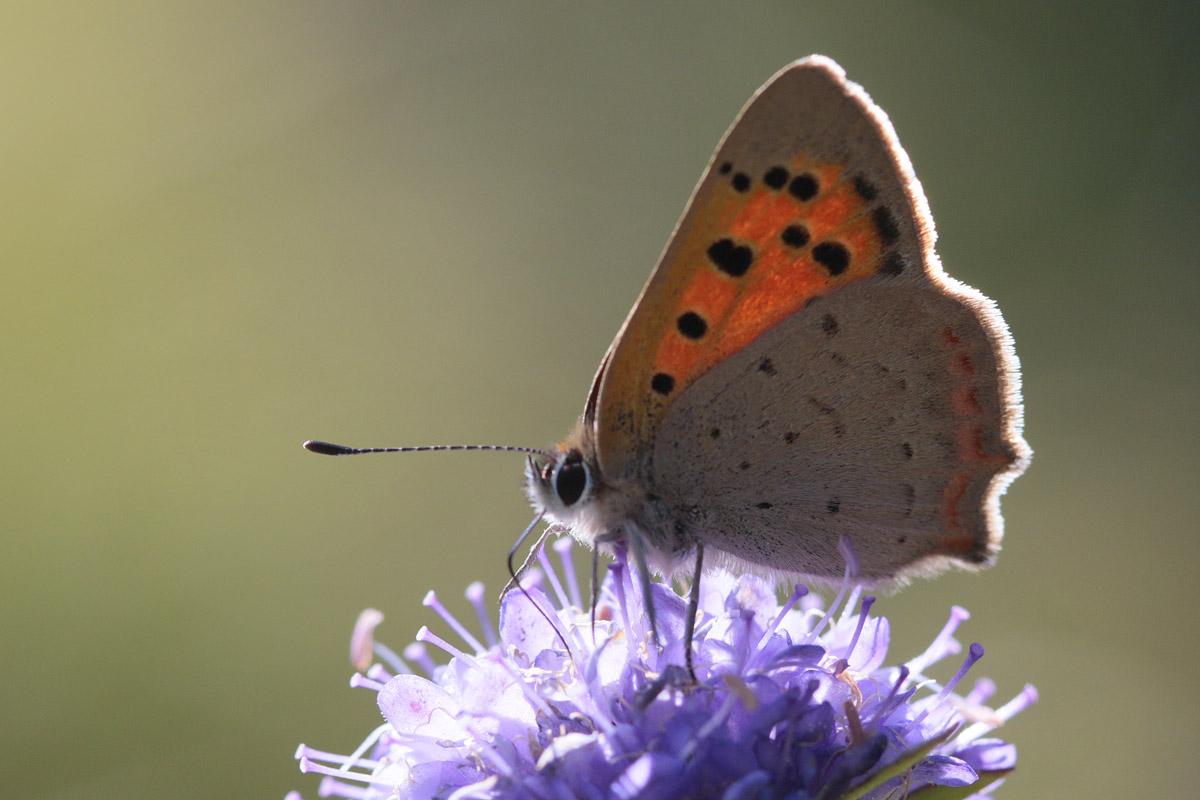 Le cuivré commun (Lycaena phaleas)