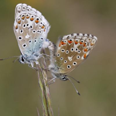 L'Azuré bleu céleste ou Belargus (Polyommatus belargus)