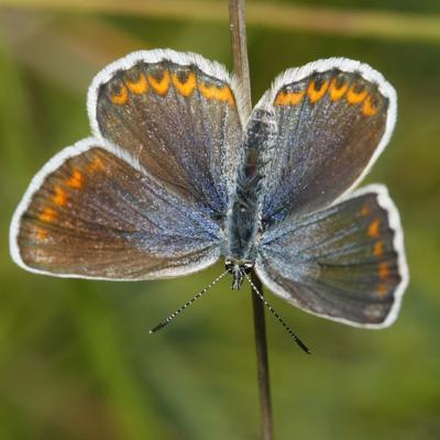 L'Azuré bleu céleste ou Belargus (Polyommatus belargus) femelle
