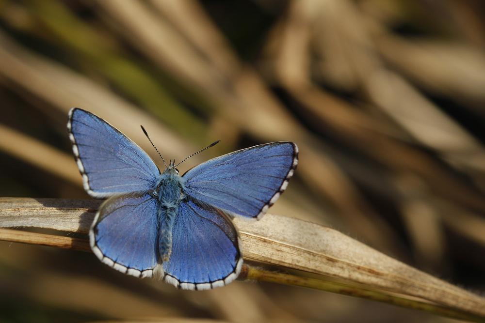 L'Azuré bleu céleste ou Belargus (Polyommatus belargus) mâle