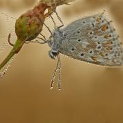 Argus bleu nacré (Polyommatus coridon)