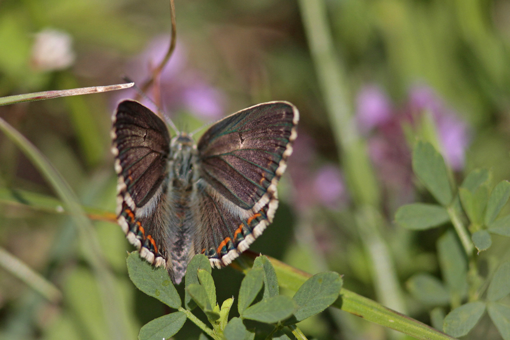Argus bleu nacré (Polyommatus coridon) femelle
