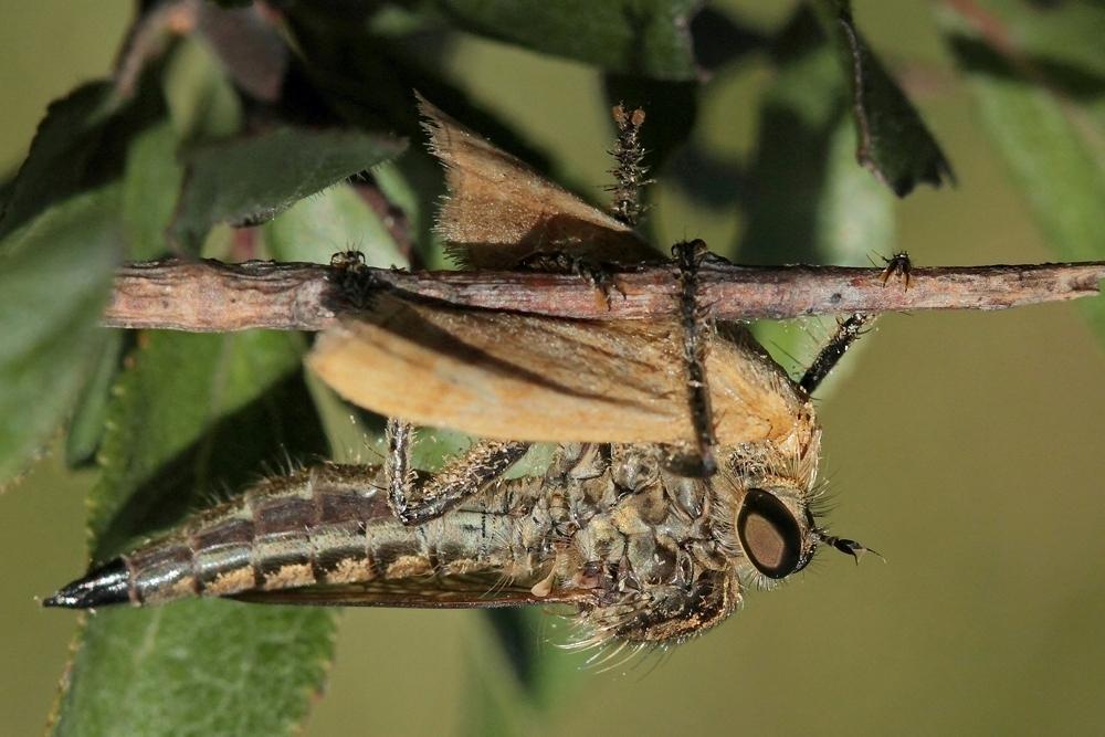 Asile (Machimus rusticus)