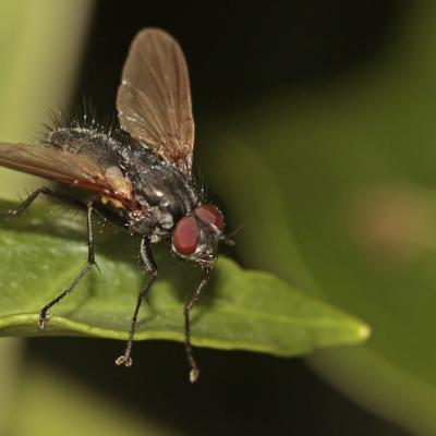 Tachinaire (Macquartia sp.)