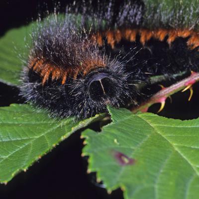 Bombyx de la ronce (Macrothylacia rubi)