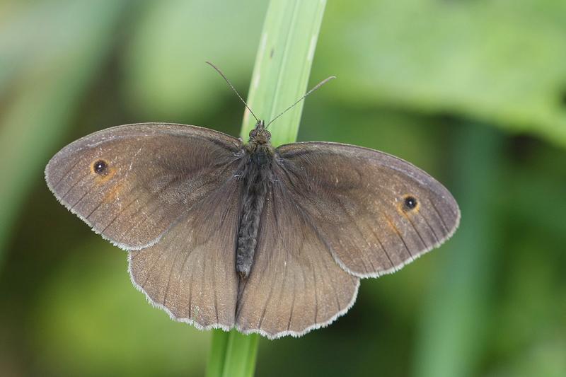 Le Myrtil (Maniola jurtina) mâle.
