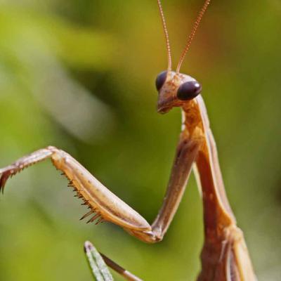 Mante religieuse (Mantis religiosa)