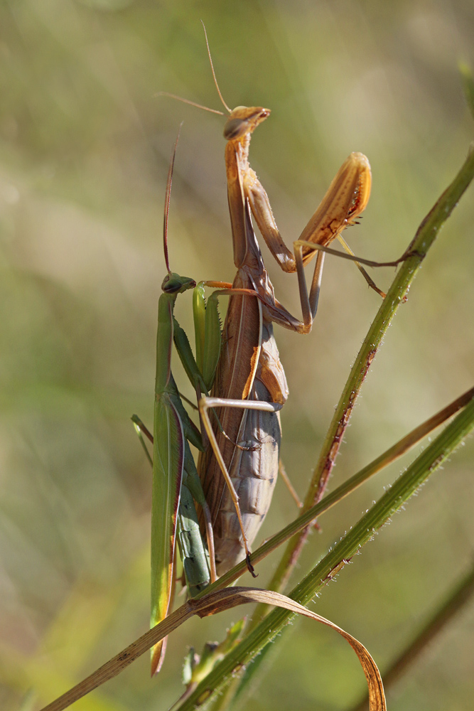 Mante religieuse (Mantis religiosa) couple