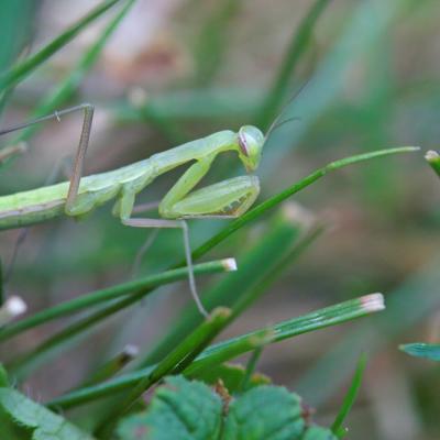 Mante religieuse (Mantis religiosa) jeune