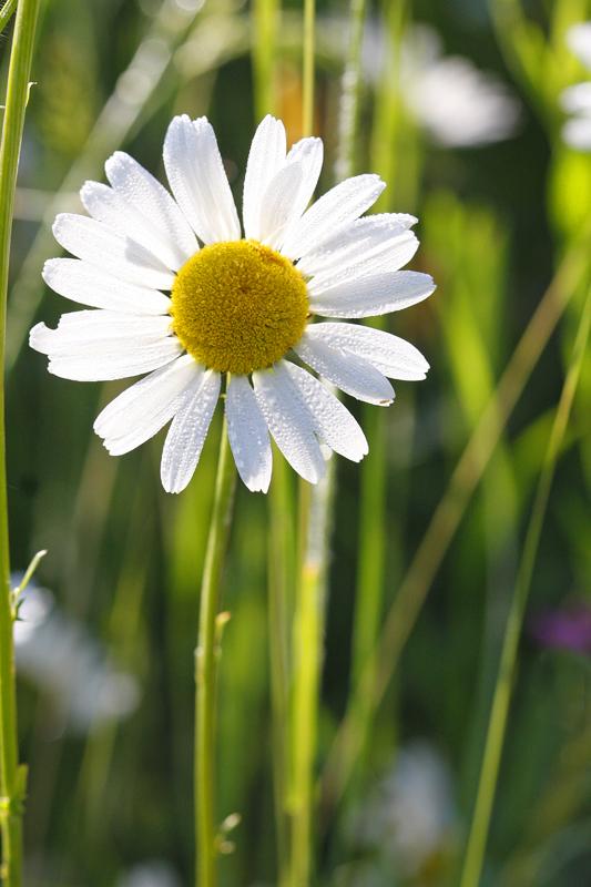 Marguerite (Leucanthenum leucojum)