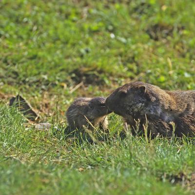 Marmottes (Marmota marmota)