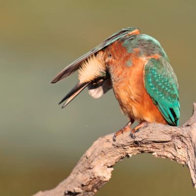Martin pêcheur (Alcedo athis)