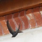 Martinet noir (Apus apus)