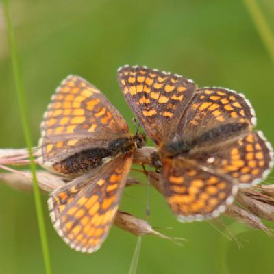 Mélitée du melampyre (Melitaea athalia)