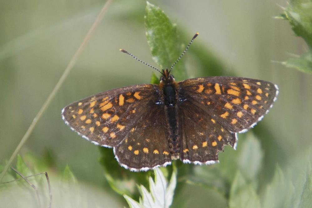 Le Damier noir (Melitaea diamina)