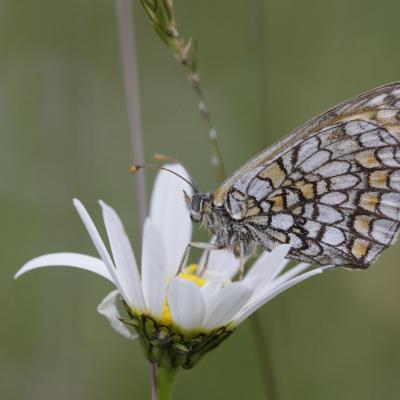 Mélitée des scabieuses (Melitaea parthenoides)